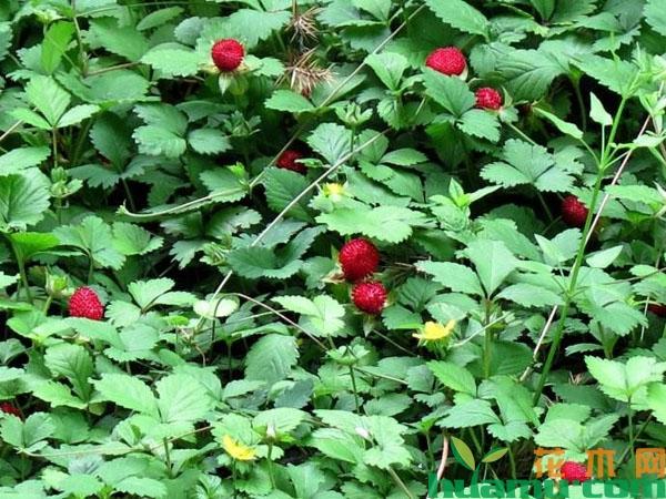 蛇莓可以直接吃吗?