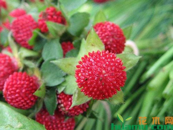 蛇莓有毒吗能吃吗?蛇莓的果实可以食用吗
