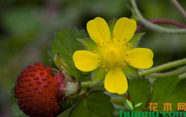 蛇莓为什么叫蛇莓?蛇莓可以直接吃吗