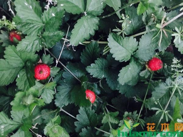蛇莓为什么叫蛇莓?