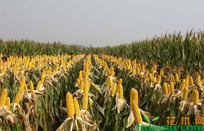 2019下半年玉米行情怎样?玉米价格上涨还是下跌?