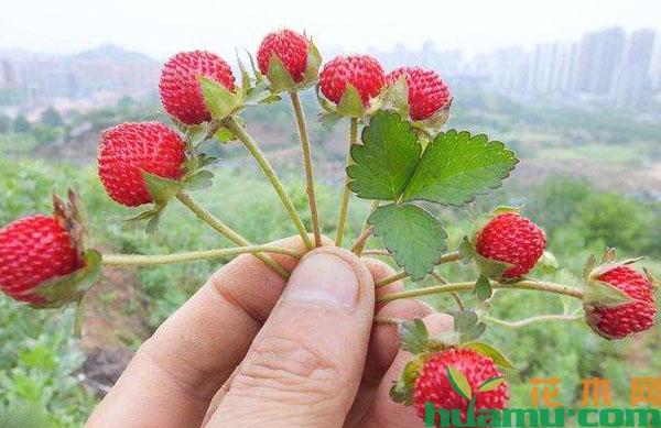 蛇莓怎么吃?吃蛇莓有什么好处?好吃吗