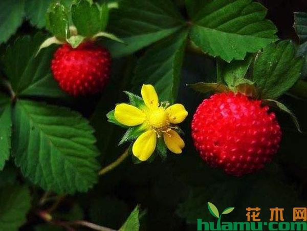 蛇莓草的价格