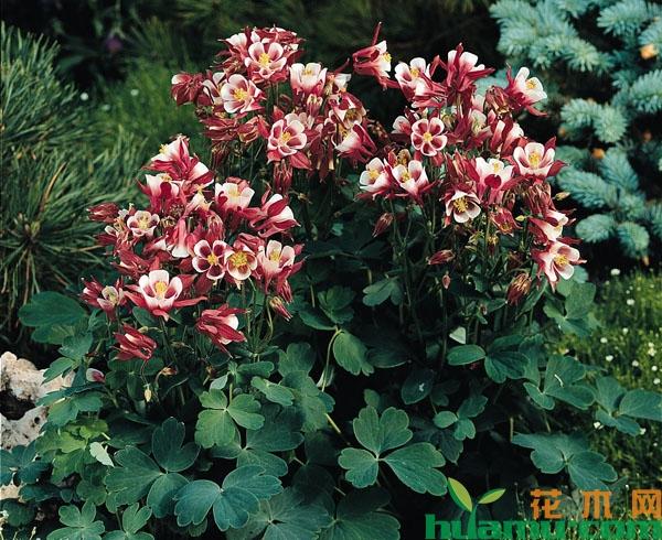 盆栽耧斗菜的种植方法