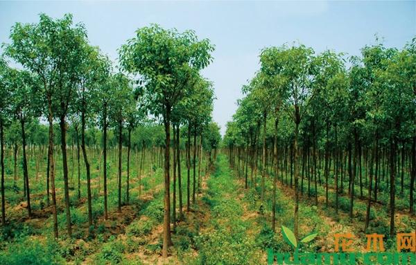 当前苗木市场最缺的6类苗木,你种了吗?