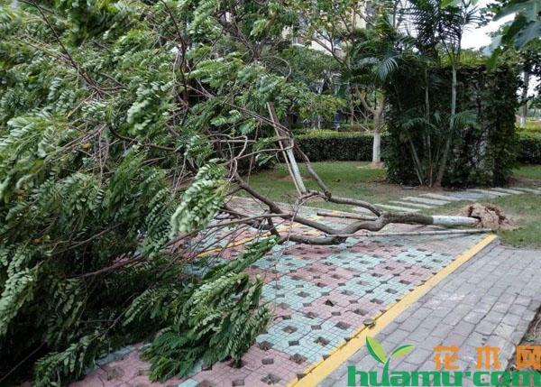 台风利奇马登陆,怎样保住苗木的损失?