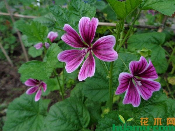 锦葵花的花语是什么?锦葵花的功效和作用有哪些?