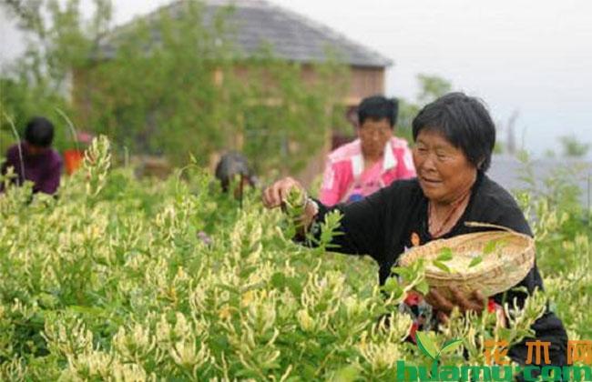 女村官带领村民种植金银花,实现增收增加就业