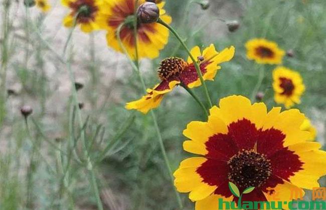吴堡县种植雪菊花带动村民致富