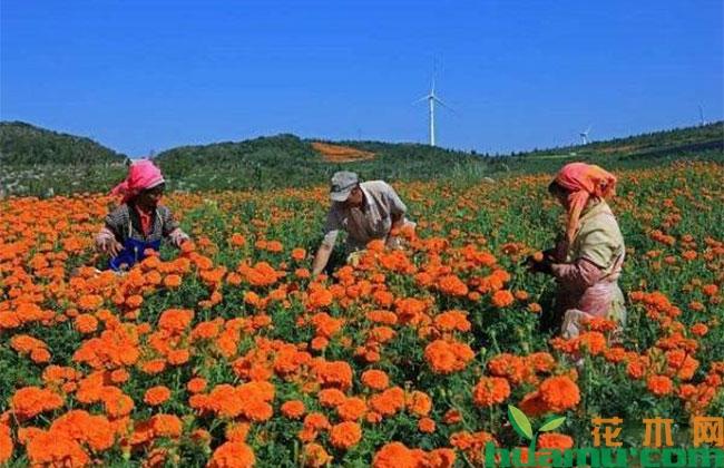叶城县:发展万寿菊特色种植,带动村民致富