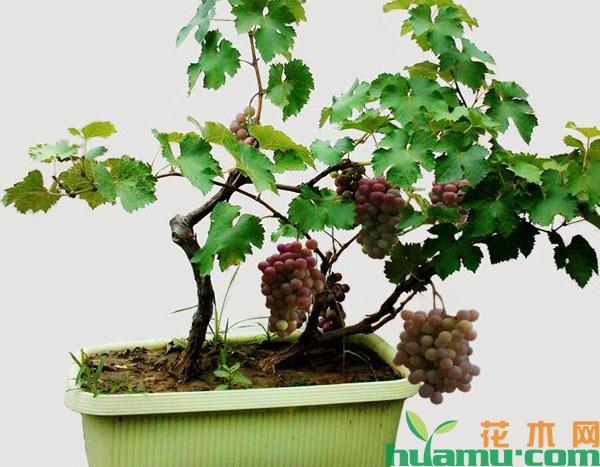 盆栽葡萄的种植方法