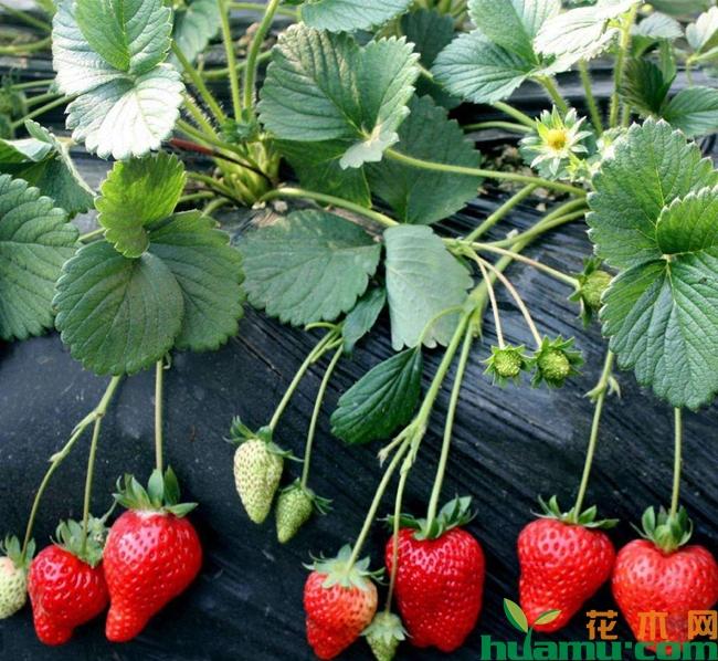 草莓施肥用什么肥料 大棚草莓施肥时间方法