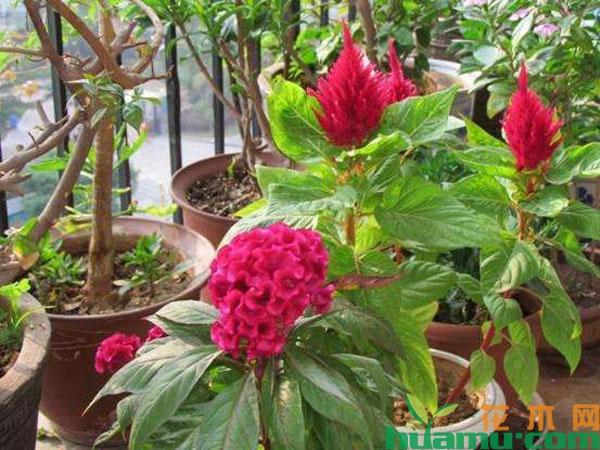 鸡冠花能在室内养吗?