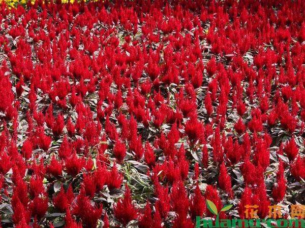 红叶鸡冠花价格