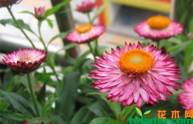 秋季适合养在室内的几种香花