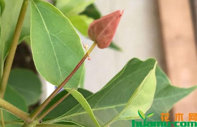 三角梅开花征兆是什么?秋季怎么养护开花多?