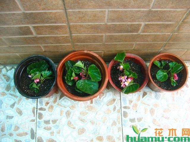 四季海棠扦插方法