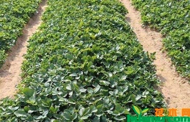 四川甜查理草莓种植基地