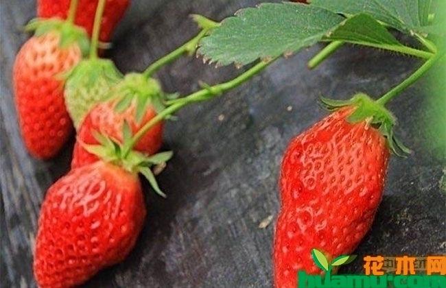 四川甜查理草莓