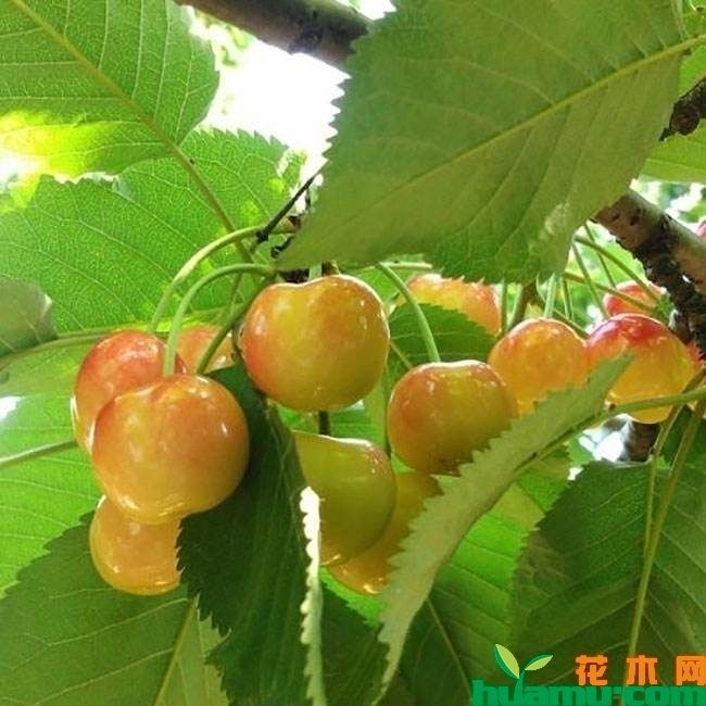 黄蜜樱桃树.jpg
