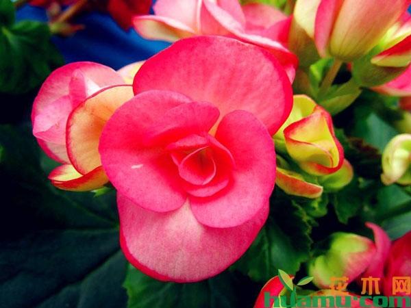 懒人扦插四季海棠方法