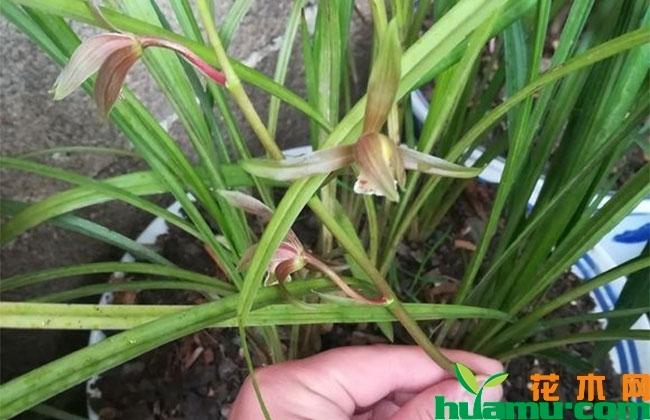 兰花施肥方法有哪些?