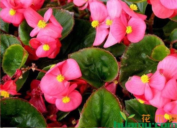 四季海棠花语