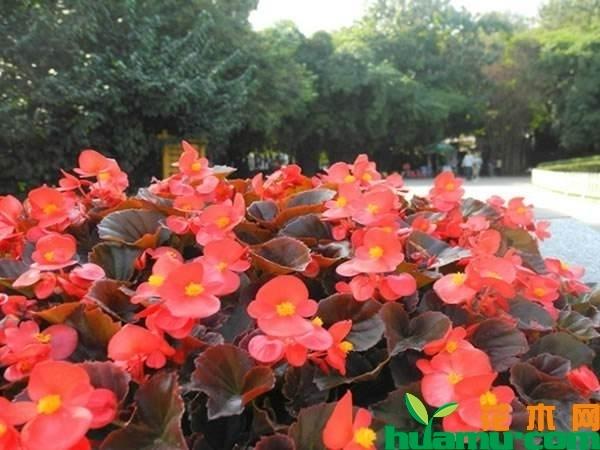 四季海棠花期