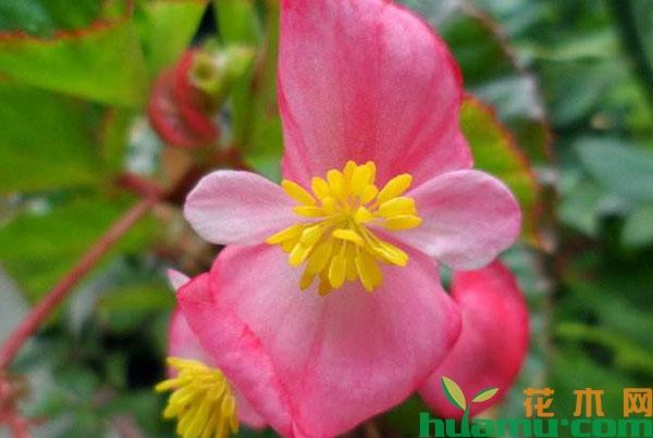 四季海棠花如何种植?