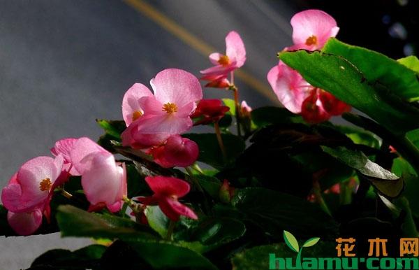 家里适合种植四季海棠吗?