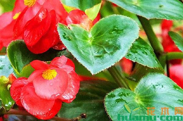四季秋海棠花期_四季海棠花期-花卉百科-中国花木网