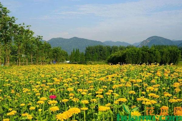 百日草的种植方法