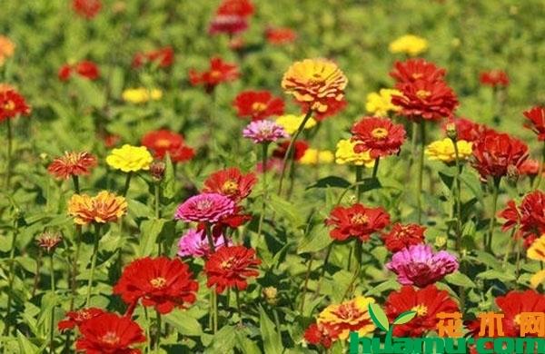 百日草什么时候开花?