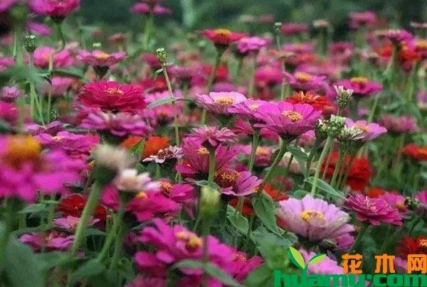 盆栽百日草的种植方法