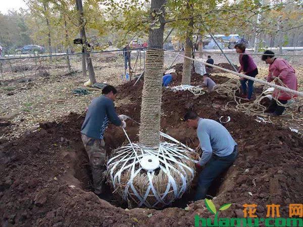 苗木土球这样起,移栽成活率提高一倍!