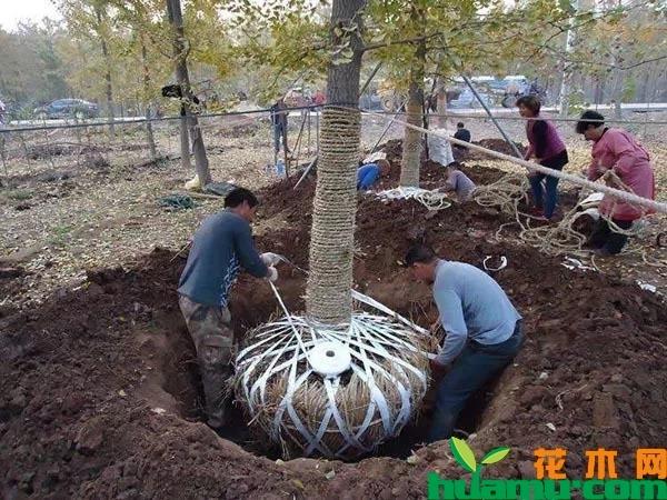 苗木起土球