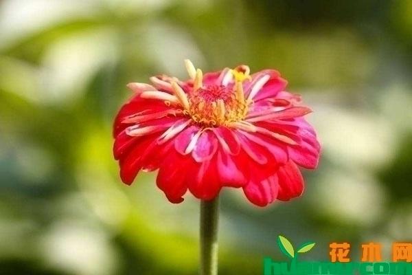 百日草开花