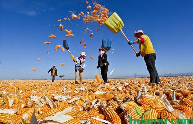 玉米秋季收购价多少钱一斤?2019年种植玉米补贴多少钱?