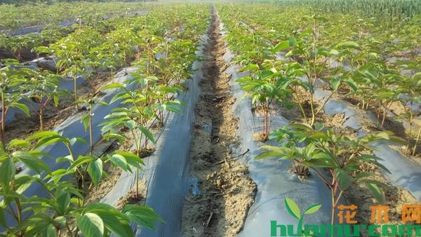 牡丹苗多少钱一棵?牡丹苗种植技术方法有哪些?