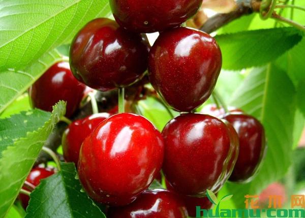 山东樱桃树苗品种有哪些?山东樱桃苗哪个品种好?