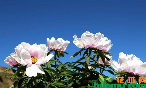 天彭牡丹苗多少钱一棵?牡丹苗什么时候种植最好?