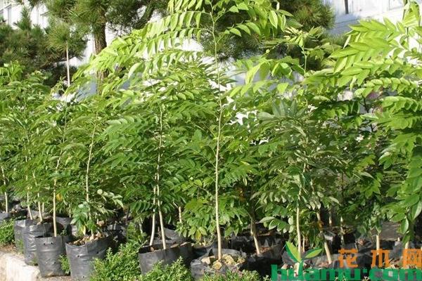 黄花梨树苗多少钱一棵?黄花梨树苗种植前景怎么样?
