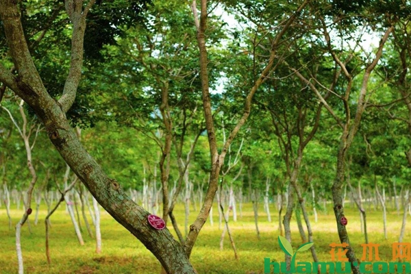 黄花梨树苗北方能种吗?黄花梨树苗适合哪些地方种植?