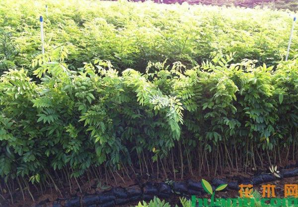 海南黄花梨苗价格多少钱一棵?如何识别黄花梨树苗真假?