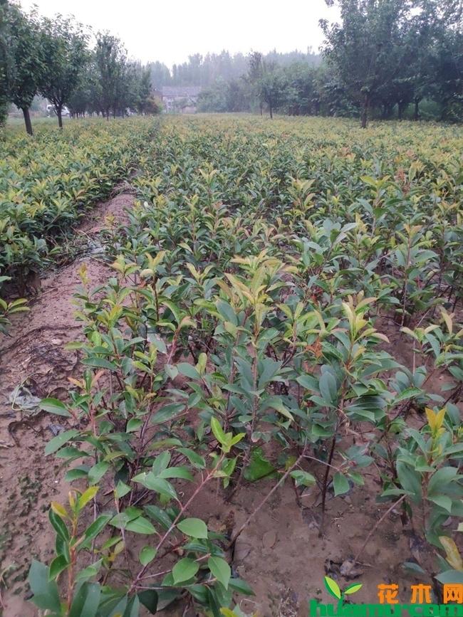 红叶石楠价格多少钱一棵?红叶石楠种植技术有哪些?