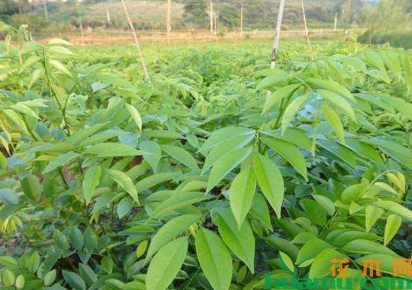 黄花梨树苗价格贵吗?黄花梨树哪里可以种植?