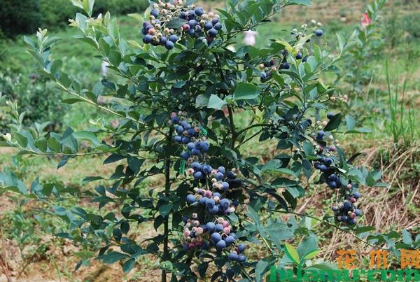 蓝莓树苗多少钱一棵?蓝莓种植适合什么地方?