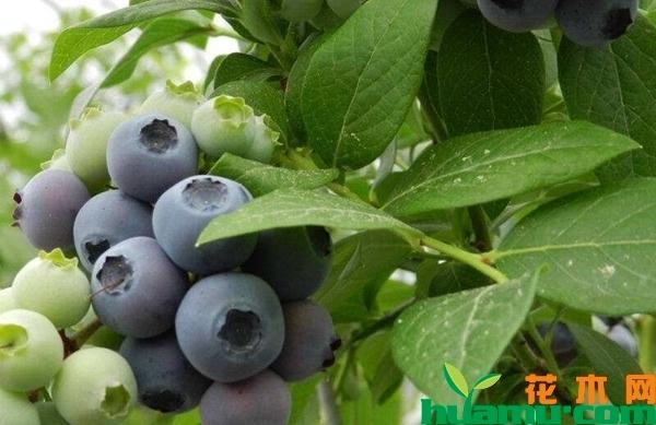 蓝莓树苗多少钱一棵