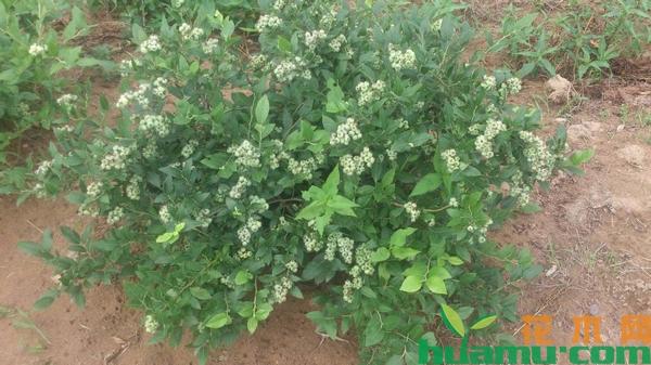 蓝莓苗多少钱一棵?蓝莓苗栽培技术方法有哪些?