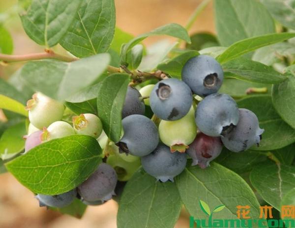 现在蓝莓树苗价格多少钱一棵?蓝莓苗盆栽技术养殖方法